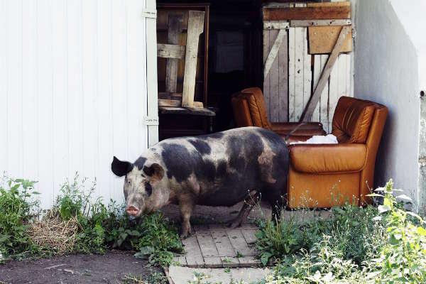 A pig on a jaunt - 2017 - Emmaus Iasi Romania