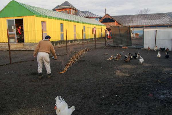 Distribuirea de boabe pentru găini - 2015 - Emmaus Iasi România