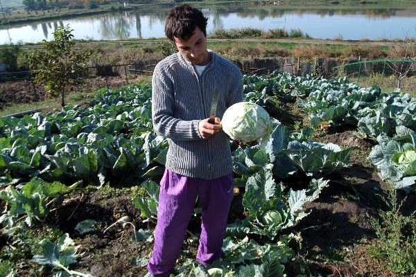 Harvest of cabbage - 2008 - Emmaus Iasi Romania